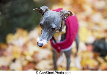 Portrait of nice italian greyhound in autumn season - A...
