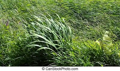 Wind shakes the grass on the field. Nature, strong wind -...