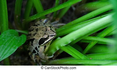 Frog head in grass closeup - Brown frog in the wet grass of...