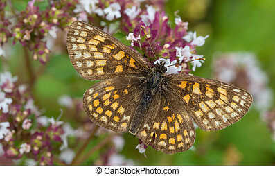 Heath fritillary (Melitaea athalia) butterfly male closeup...