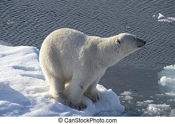polar, ice., bär