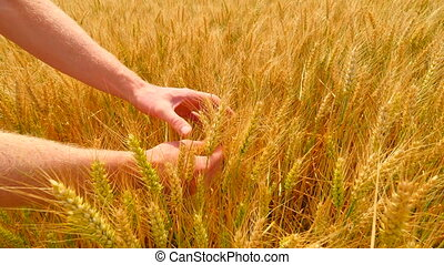 Male hands in barley field. Grain in the hands. Man hands holding barley grain. Farmer check the quality of spikelet and soft grains.