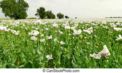 White poppy field. Blossom of poppies and green poppy heads...