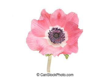 Anemone flower - Crimson and white anemone flower isolated...