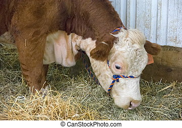 Hereford cow in barn stall - brown and white Hereford cow in...