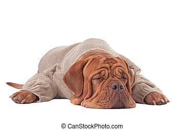 Sleeping dog - Dogue de boedeaux in a sweater sleeping on...