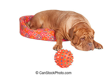 Dog in a cot - Big dogue de bordeaux lying in a puppys cot