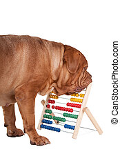 Big dog with an abacus
