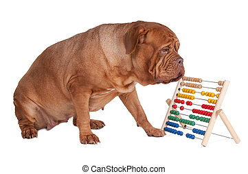Dog with abacus - Big dogue de bordeaux counting