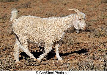 Angora goat on rural farm - An Angora goat on a rural...