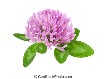 Red clover (trifolium pratense) - Red clover flowers and...
