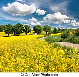 Field of rapeseed, canola or colza with rural road - Field...