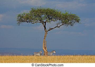 Zebras and tree in grassland - Plains zebras (Equus...