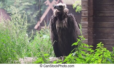Griffin Vulture Gyps fulvus. - Vulture Griffin on a branch...