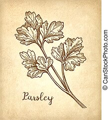 Parsley ink sketch on old paper background. Hand drawn...