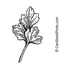 Parsley ink sketch. Isolated on white background. Hand drawn...