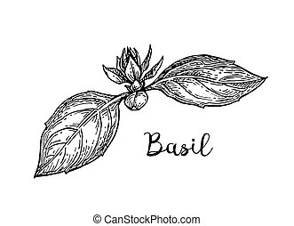 Basil ink sketch isolated on white background. Hand drawn...
