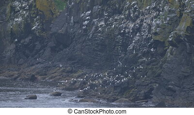 Flock Of Seagulls,Carrick-A-Rede Rope Bridge Viewpoint,...