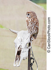 Brown owl sitting on old cow skull.