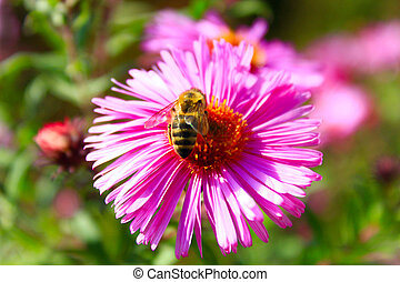 bee on the aster - bee sits on the aster and collects nectar