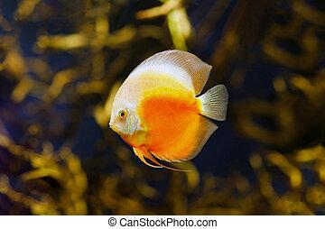 Checkerboard discus fish in amazon river close-up.
