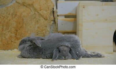 Two gray rabbit sleeping in the contact zoo