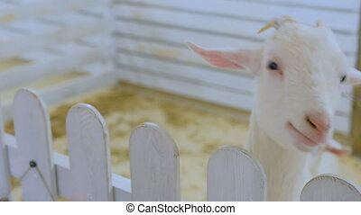 White goat in contact zoo near white wooden fence