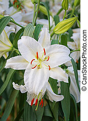 Lily flower of white color bloom. - Lily flower of white...