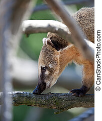 Close-up portrait of a very cute White-nosed Coati Nasua...