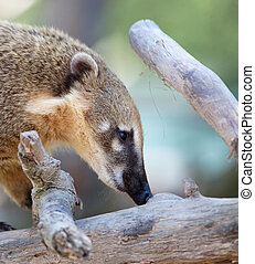 Close-up portrait of a very cute White-nosed Coati