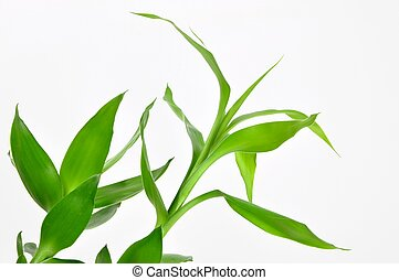 Isolated lucky bamboo leaves