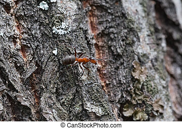 Ant - The ant on the bark of a tree