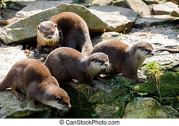 family of European otter (Lutra lutra) - family of playful...