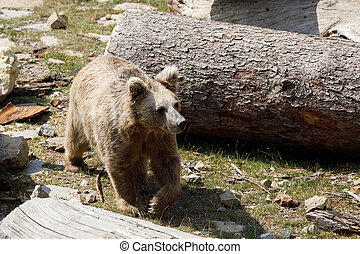 Himalayan brown bear (Ursus arctos isabellinus), also known...