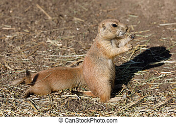 Black-tailed prairie dogs (Cynomys ludovicianus), rodent of...