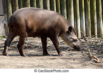 endangered South American tapir - South American tapir...