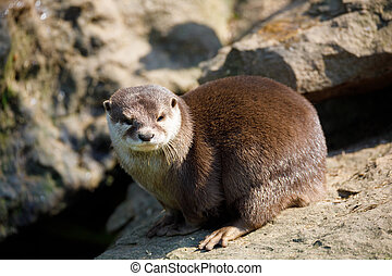 European otter family (Lutra lutra) - playful baby of river...