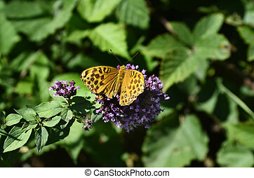 Zoology, Insects - Austria, silver-washed fritillary