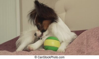 Papillon Continental Toy Spaniel puppy tired of playing ball and falling asleep stock footage video
