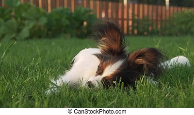 Papillon Continental Toy Spaniel puppy gnawing stick on...