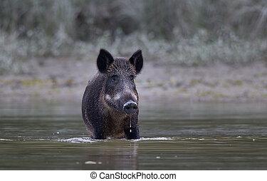 Wild boar in water - Wild boar standing in shallow water....