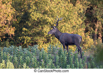 Red deer in forest - Red deer with beautiful antlers...