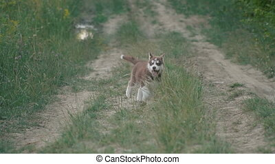 A puppy of husky walks on the nature - Husky puppy with blue...