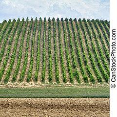 Vineyards near Zaffignana (Piacenza, Italy) - Country...