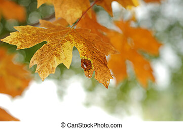 October Autumn Maple Leaf