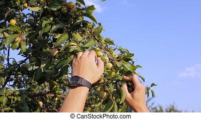 A young man tears plums from a tree in the garden