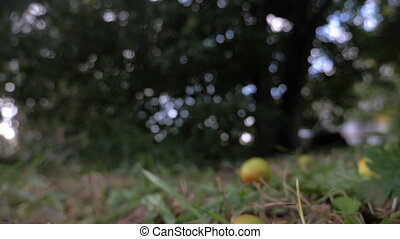 Pears fall from the tree to the grass. - Red and green pears...