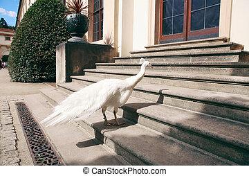 White female peacock bird walking in the park