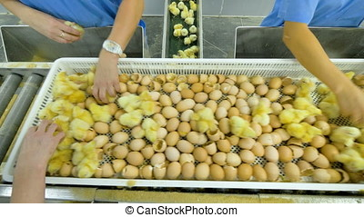 Agriculture industry. Poultry workers sorting chicks in...