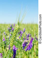 green spike with purple flowers in field
